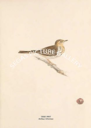 TREE PIPIT - Anthus Arboreus